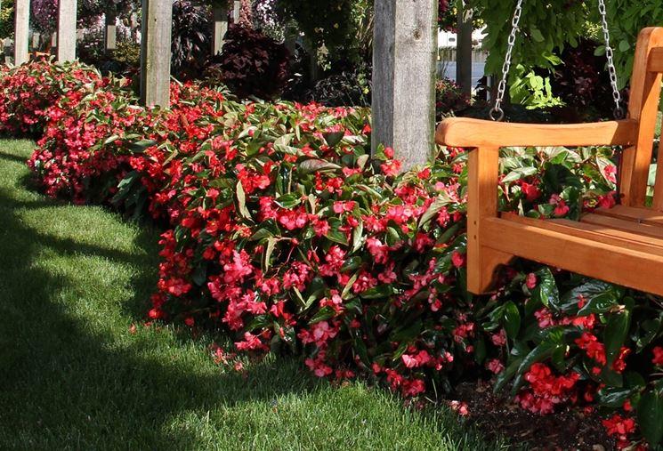 begonia dragon rossa
