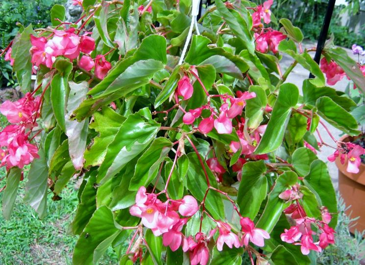 begonia dragon rosa