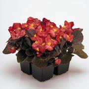 begonia esposizione