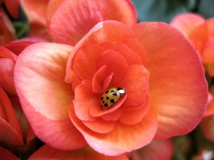 Germoglio di una Begonia