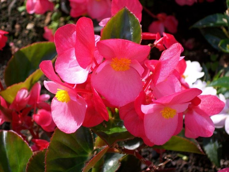 Begonia in fioritura