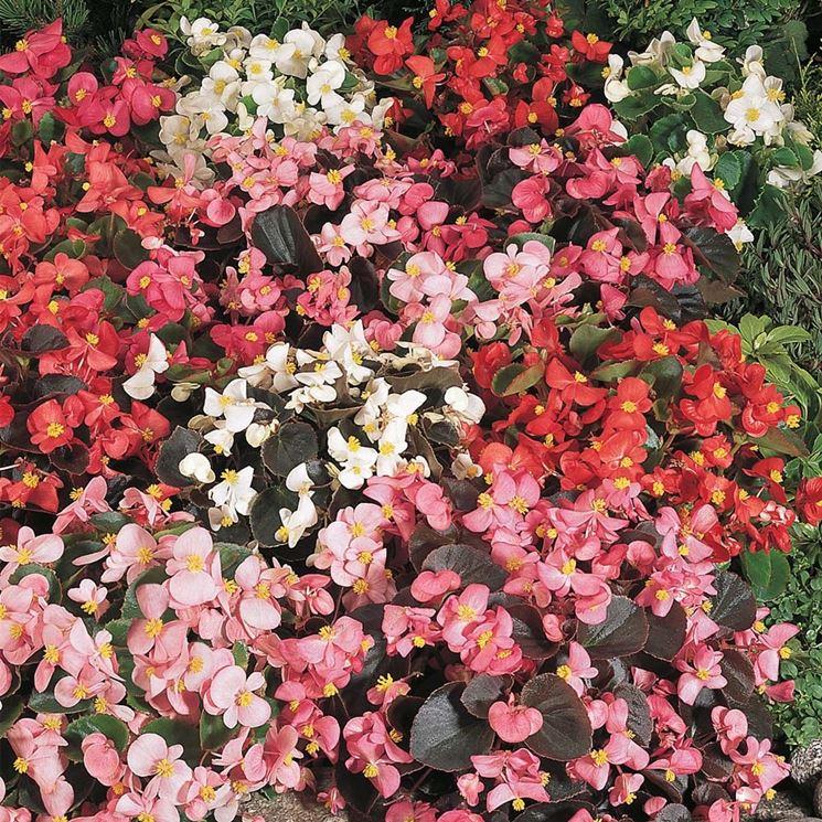 Fiori di Begonia
