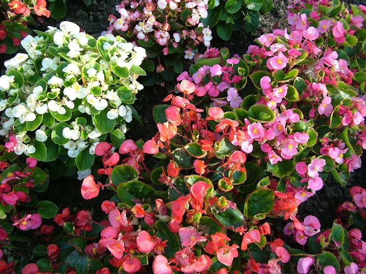 Fiori Bianchi Con Quattro Petali.Begonietta Begonia Semperflorens Piante Annuali