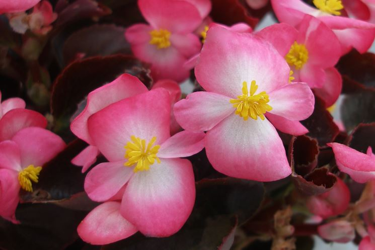 begonietta rosa