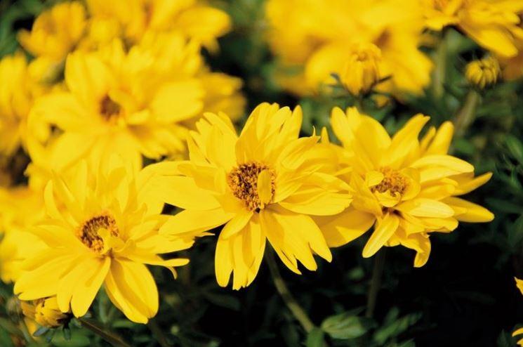 bidens fiore doppio