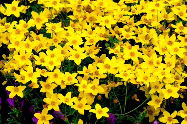 bidens giallo