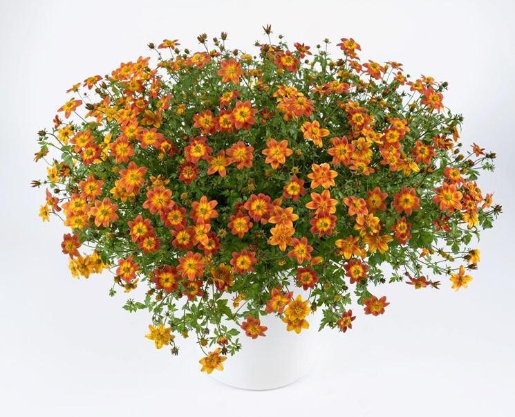 bidens giallo arancio