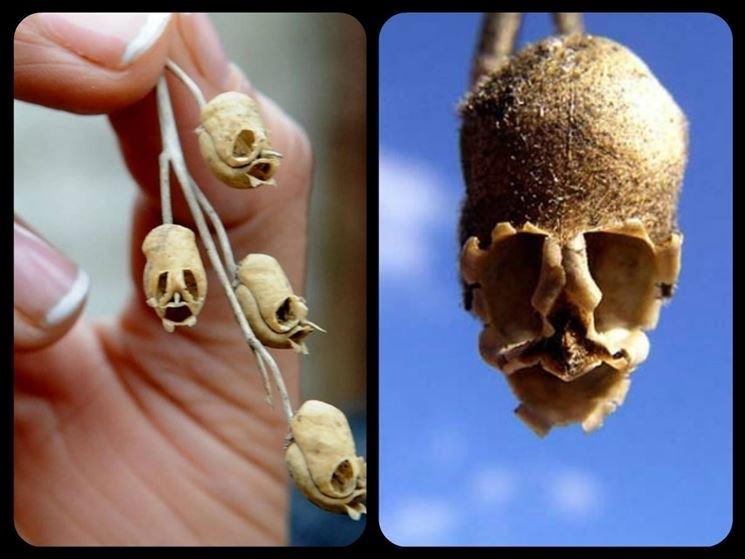 semi delle bocche di leone