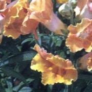bocca di leone fiore