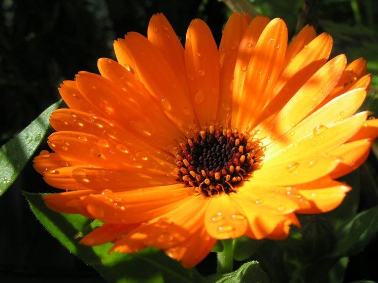 calendula fiore semplice