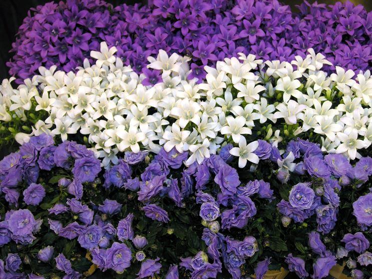 Campanula campanula portenschlagiana piante annuali for Piante annuali