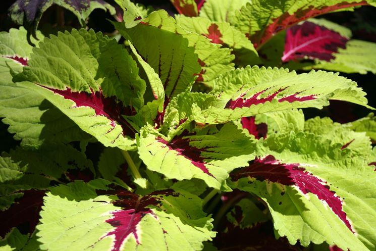 coleus verde e viola