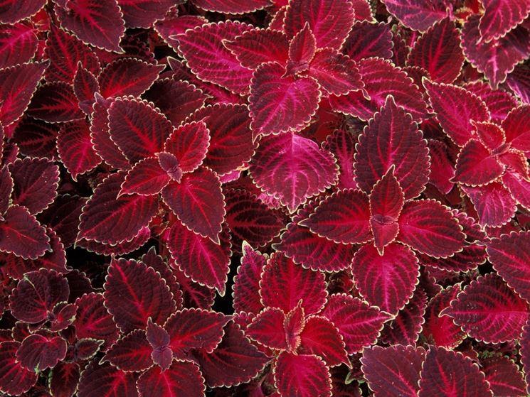 coleus rosso