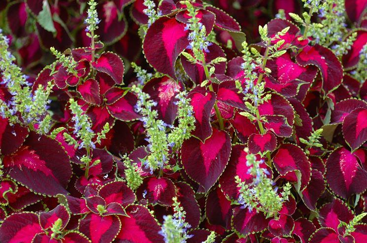 coleus fiore