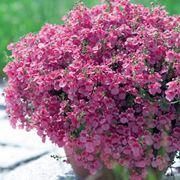 Esemplare di diascia in fioriera