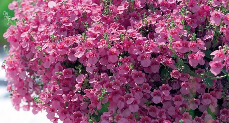 Esemplare di <strong>diascia</strong> in fioriera
