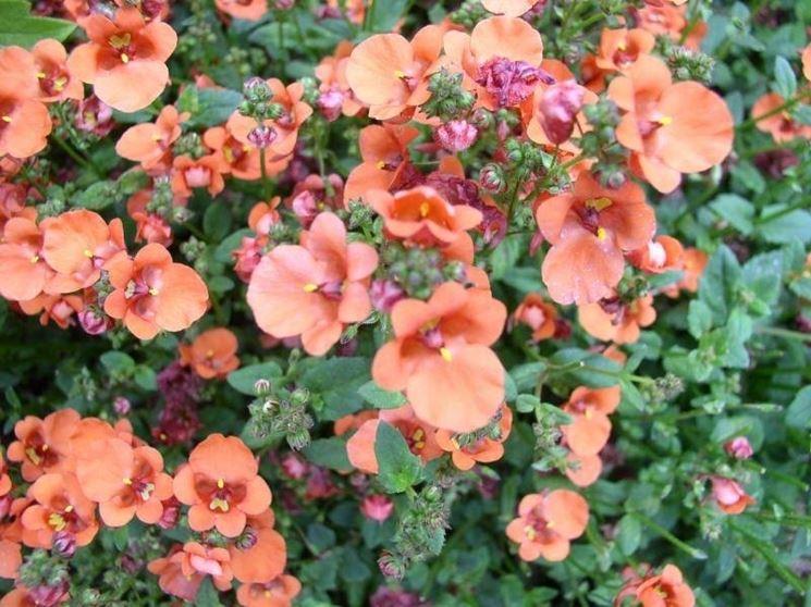 Tipologia di fiori di diascia