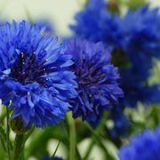 Fiore di fiordaliso blu