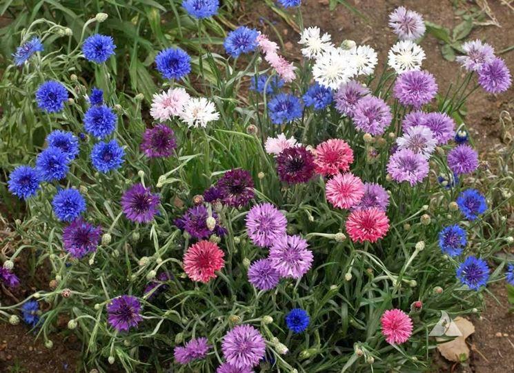 Varietà di fiori di fiordaliso