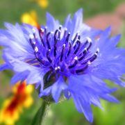 fiordaliso fiore