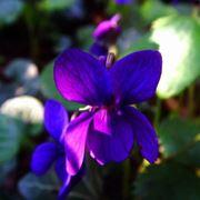 Tipi di viole: viola mammola