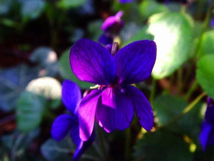 Fiore viola piante annuali la viola for Tipi di fiori