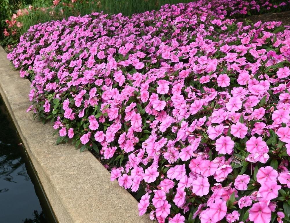 Fiori di vetro piante annuali fiori di vetro - Fiori di giardino ...