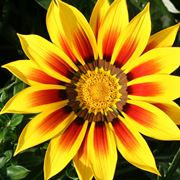 gazania