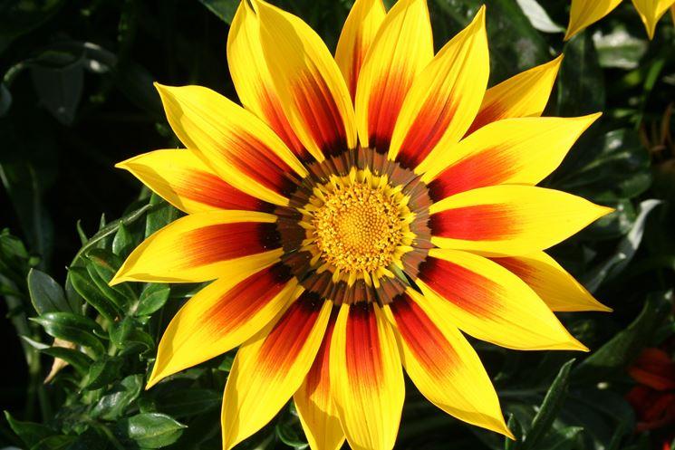 Gazania gazania uniflora piante annuali come for Fiori estivi perenni