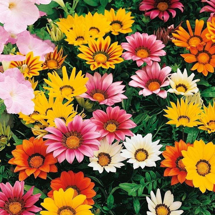 fiori di gazania