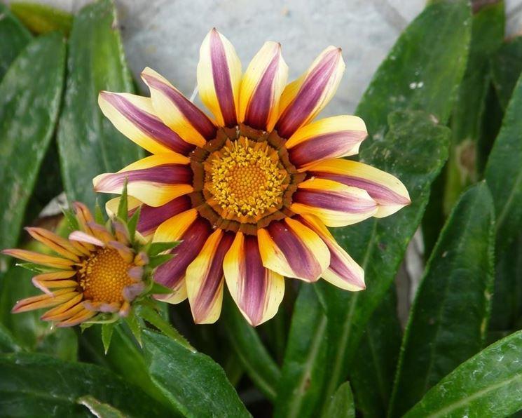 gazania fiorita