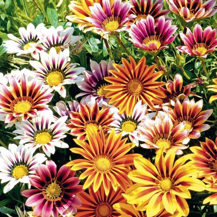 bellissime gazanie fiorite