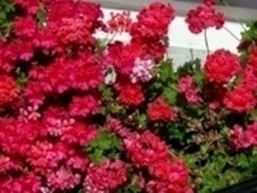 foto gerani fioriti