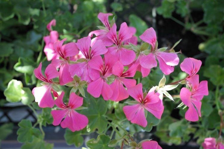 geranio parigino lilla