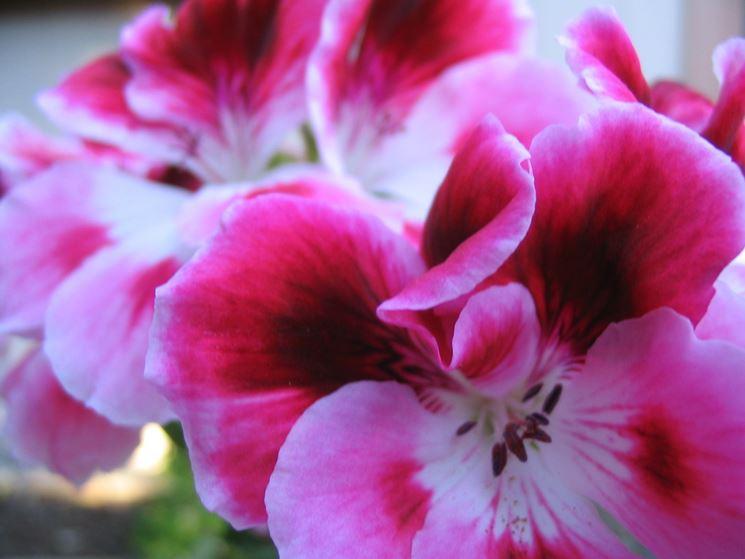 Gerani pelargonium piante annuali caratteristiche for Geranio macranta