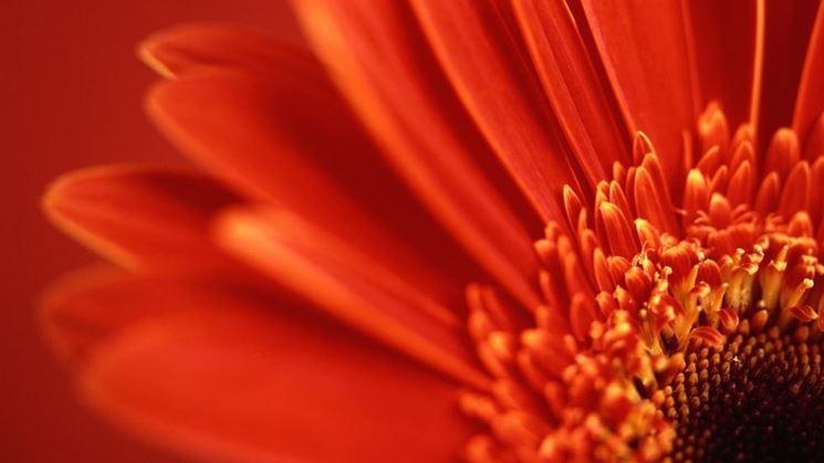 gerbera particolare fiore