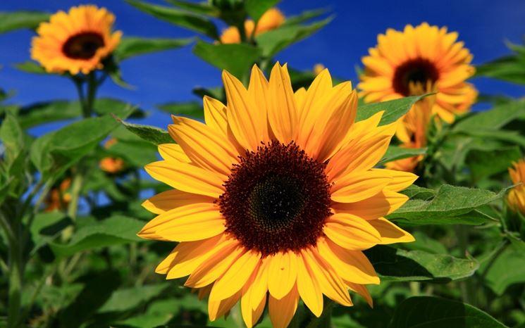 girasole fiore piccolo
