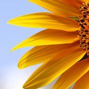 girasole fiore