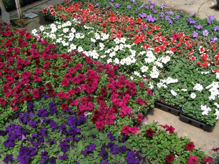 Petunie piante annuali