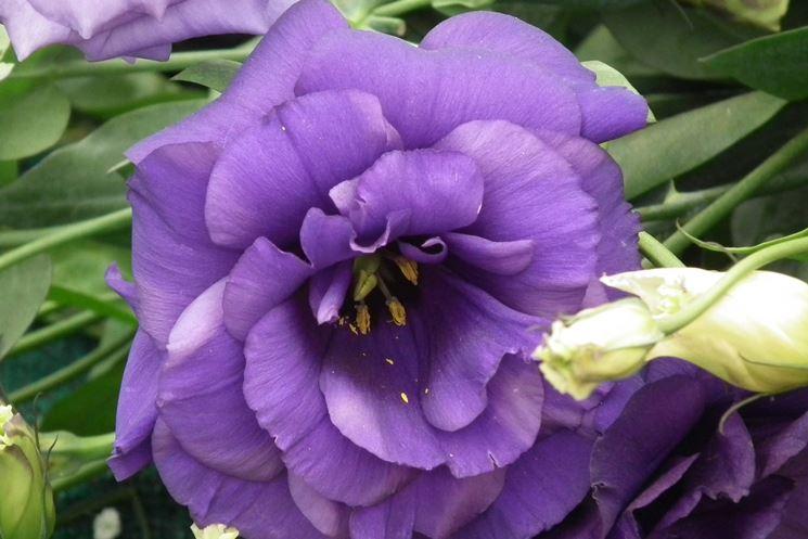 Particolare del fiore di lisianthus
