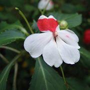 Fiore della Nuova Guinea