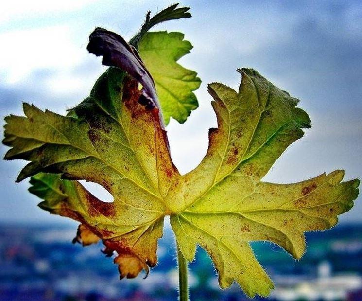 pelargonium malato