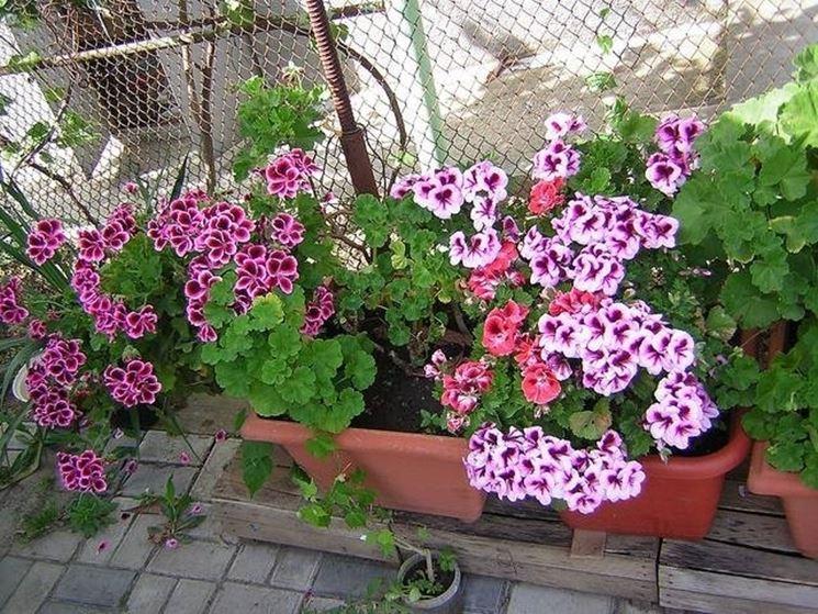vasi di pelargonium domesticum