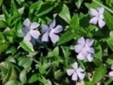 Pervinca vinca major piante annuali for Pervinca pianta