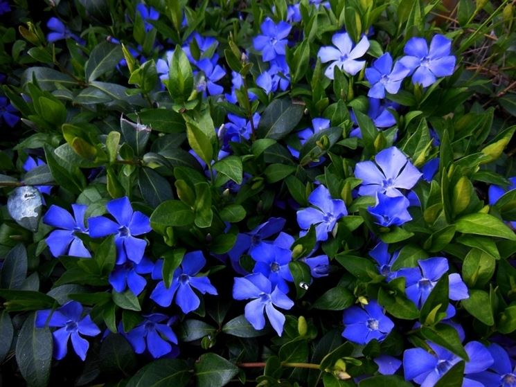 vinca blu