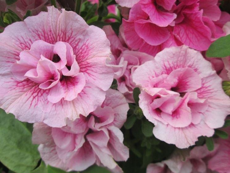 petunia fiore doppio rosa