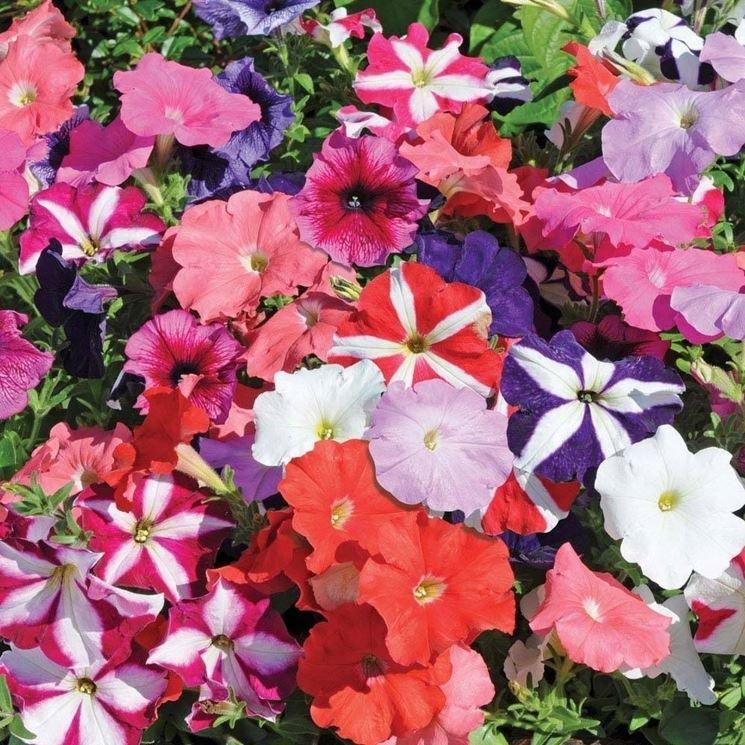 Fiori di Petunia