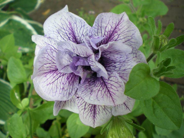 petunia fiore doppio