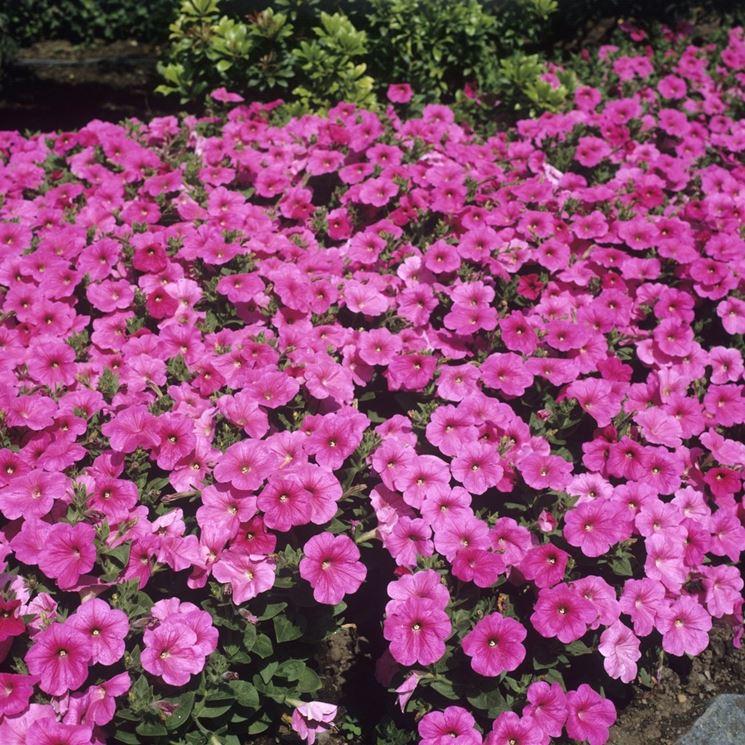 Coltivare petunia