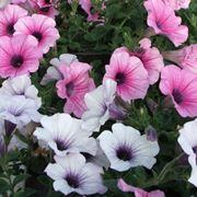 petunie fiori